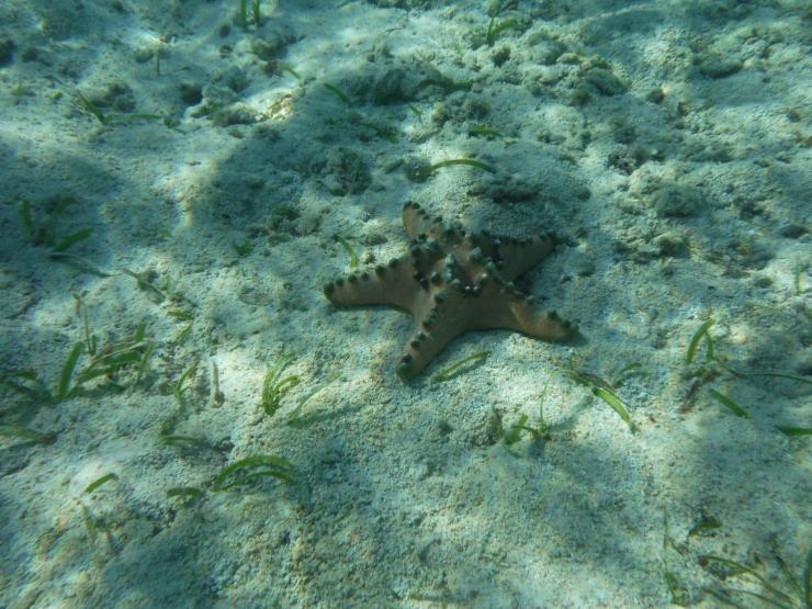 bintang-laut